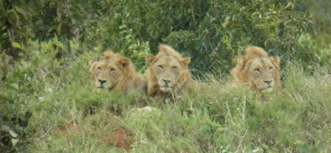 3 male lions, tintswalo, kruger national park, south africa